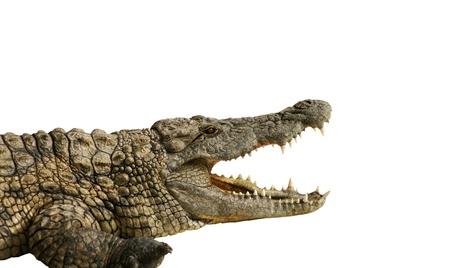 dangerous alligator with open mouth Standard-Bild