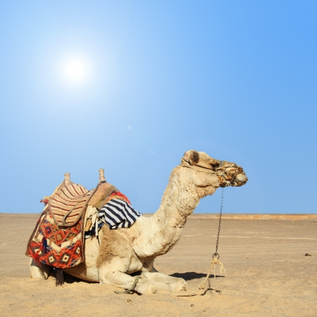 camel: in the summer holiday on a camel ride Stock Photo