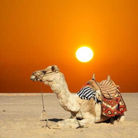 fille arabe: dans les vacances d'été sur un tour de chameau Banque d'images