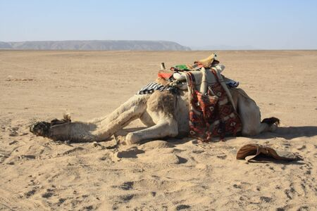 east riding: in the summer holiday on a camel ride Stock Photo