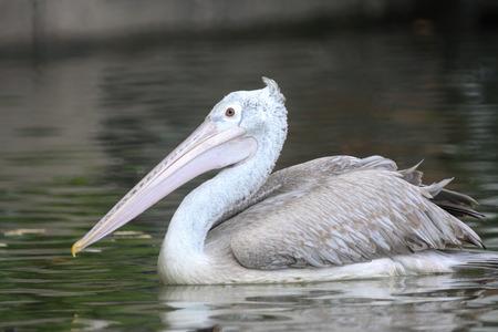 waterbird: Waterbird, Spot-billed Pelican.  Stock Photo