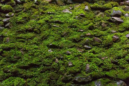 Wet green moss on old stone wall background. Standard-Bild
