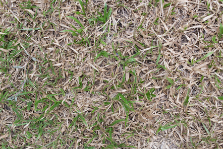 carpet grass: Green and brown Common or Tropical Carpet Grass dying. Stock Photo