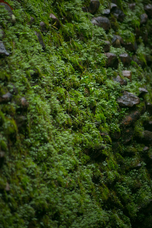 Wet green moss on old stone wall background. Stock Photo