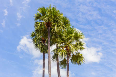 toddy palm: Sugar Palm or Toddy Palm. Stock Photo