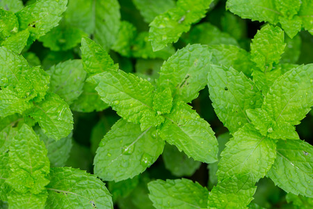 nontoxic: Peppermint Leaf,Home herbal garden with Label, Nontoxic clean plant, Organic vegetables for food.
