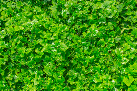 Green plant nature wall of  Ivy Gourd or Coccinia grandis.