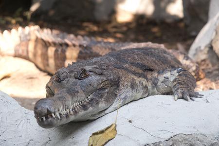 Malayan gharial or False gharial in the zoo.