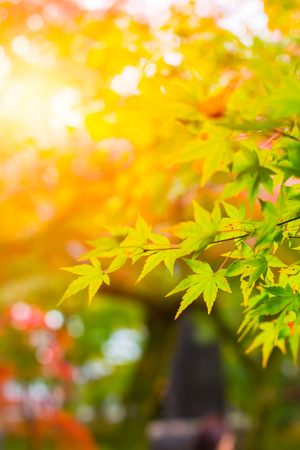 momiji: Beautiful Maple Leaf in Japan Autumn in the Morning Light for background. Stock Photo