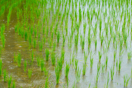 Rice field in rainy day, high water in raining season good for agriculture concept.
