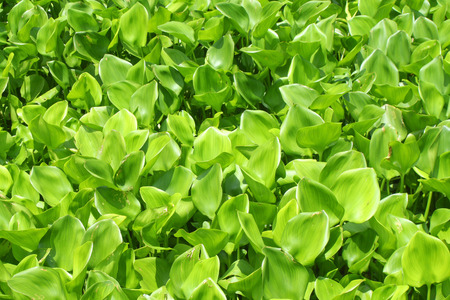 water hyacinth green plant cover the river texture background.