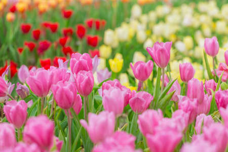 pink tulip flower field for background or nature postcard. Stock Photo