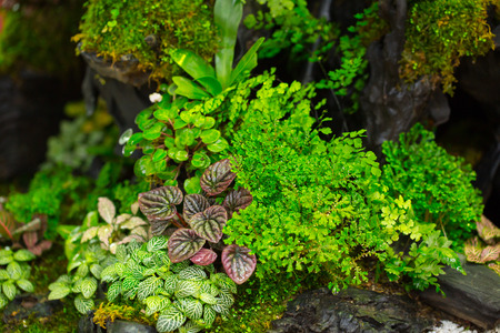 freshwater aquarium plants: moss fern decorate on small wood garden. green nature plant in the forest. Stock Photo