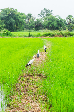 Asian openbill birds in the rice field in Thailand.