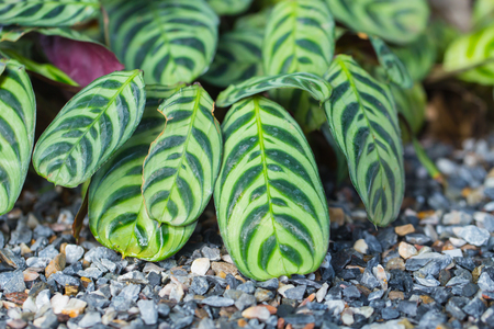 Green plant garden decoration, Zebra plant.
