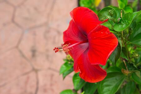 red blooming Hibiscus flower. Stock Photo