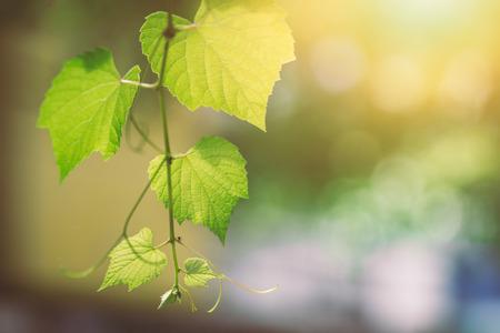 Wissenschaft des Ökologiegrünkonzeptes. Grüne Weinblattbeschaffenheit der Nahaufnahme mit Chlorophyll und Prozess der Fotosynthese mit Sonne. Standard-Bild