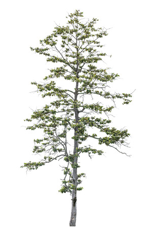 tropical asia high thin slip tree isolated on white.