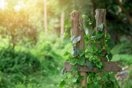 Ivy Gourd vine with wood countryside green nature background with space for text