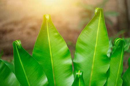 Bird's nest fern. closeup fern leaf for nature background. Stock Photo