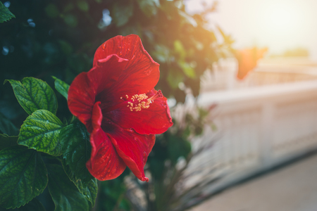 Red Hibiscus flower with morning sun light with space for text Stock Photo