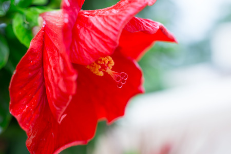 Red Hibiscus flower closeup macro with detail of flower pollen