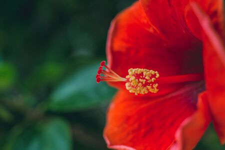 close up Red Hibiscus flower Stock Photo
