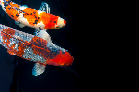 koi fish with painting effect composition with space for text Stock Photo