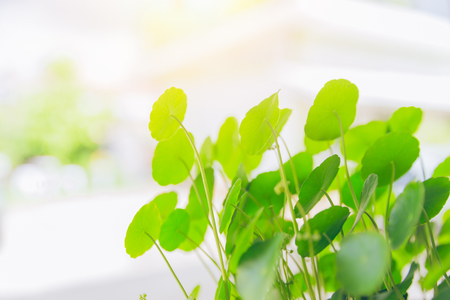 Water Pennywort green plant bright nature fresh background