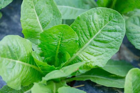 Oganic Green Cos Salad healthy vegetable Stock Photo