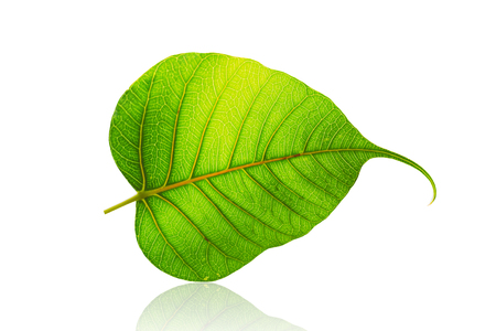green bodhi leaf or leaves of buddha isolated on white background