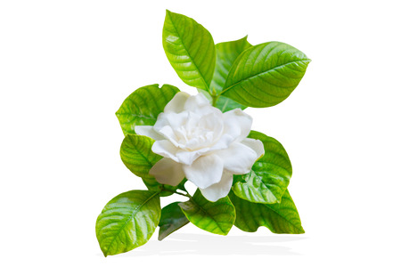 Cape Jasmine or Gardenia jasminoides Asia tropical white flower isolated on white 스톡 콘텐츠