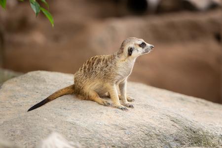 meerkat wild small animal outdoor at zoo