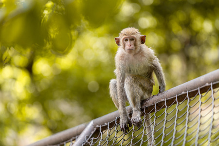 young monkey sitting over fence looking camera outdoor blur green park Stock fotó