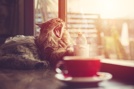 lazy cat yawning with morning sunshine from windows with coffee cup vintage beautiful pet. Фото со стока