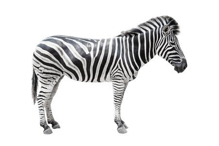 Zebra auf weißem Hintergrund mit Beschneidungspfad isoliert.