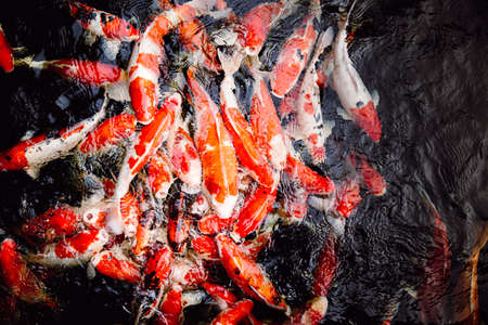 a lot of japanese koi carp fish in black pond background