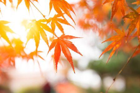 Giappone Autume bella foglia rossa dell'albero di acero per il fondo dell'insegna di viaggio di novembre di Kyoto. Archivio Fotografico