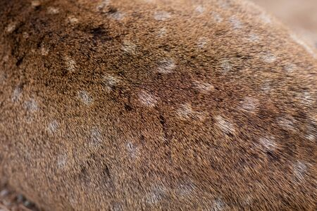 Wild Deer Brown fur skin hair animal texture closeup high detail macro shot. Standard-Bild