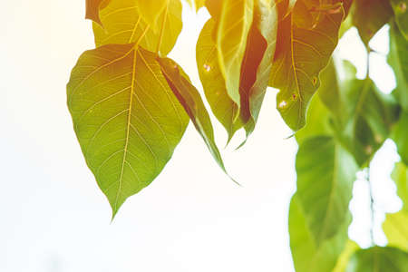 Bodhi Leaf Green fresh nature ecology with sunlight Photosynthesis
