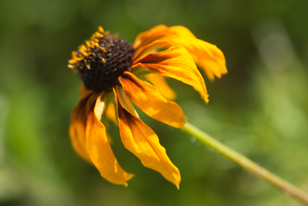 susan: black-eyed Susan blooming on the field, in the summer