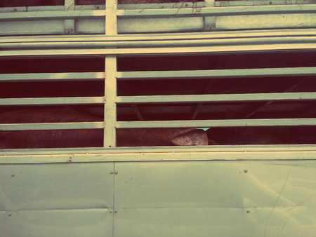 cramped space: Many pigs are being transport by truck