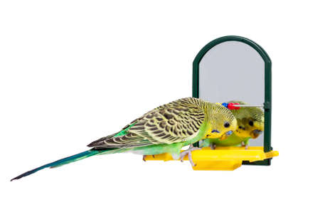 Budgie standing in front of the mirror, on white background, isolated