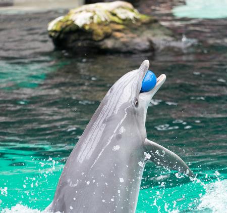 A dolphin caught a blue ball