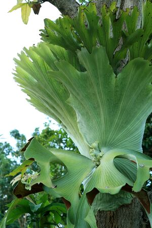 staghorn fern: Staghorn ferns Stock Photo