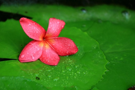 Frangipani flower in the lotus leaf  photo