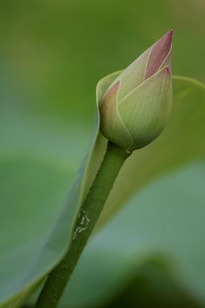 nucifera: Nelumbo nucifera en loto estanque