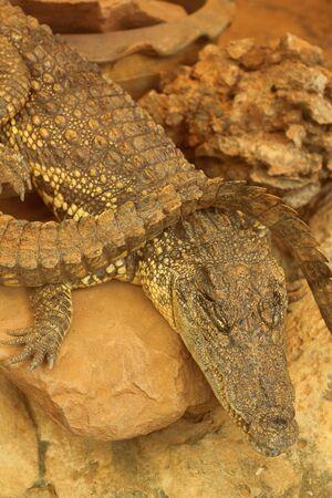 Siamese crocodile on rock Stock Photo - 14849199