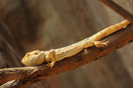 Pogona vitticeps on tree photo