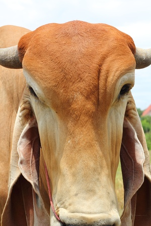 brahman: Face cow Stock Photo